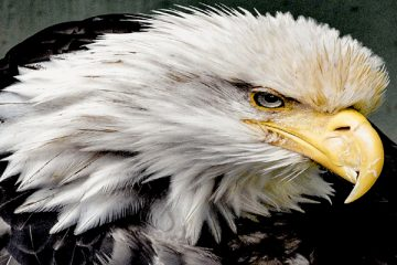A History of the Bald Eagle for the United States Coat of Arms and Money